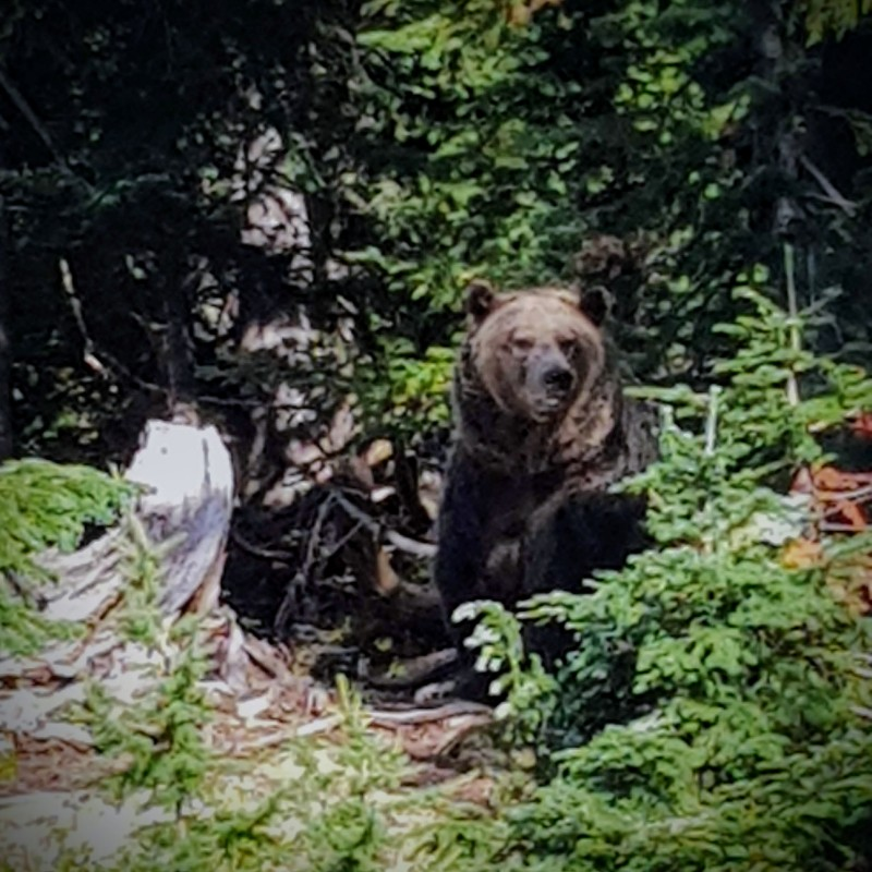 Coola Grouse Mountain Grizzly Bear